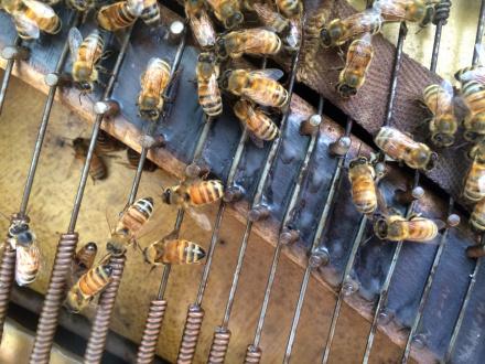 ecofeminism(s) curated by Monika Fabijanska - Jessica Segall (American) Fugue in B Flat, 2016 piano, honeybees, audio, approx. 5' x 4' x 1' ©2016 Jessica Segall. Courtesy of the artist